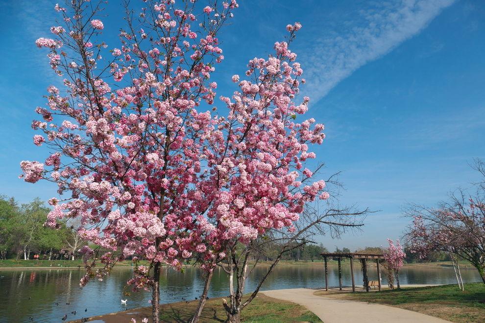 Cherry Tree at Lake Balboa CA